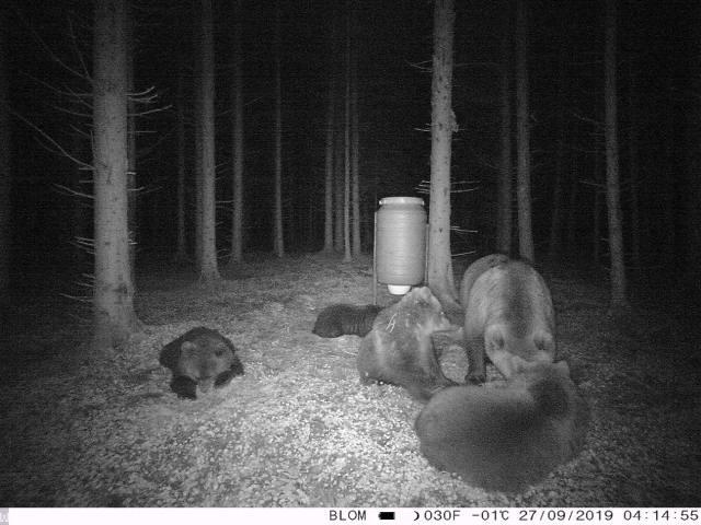 Ir Lietuvoje meškų pastebima vis dažniau. Klausimas – ar ateityje tai taps problema?