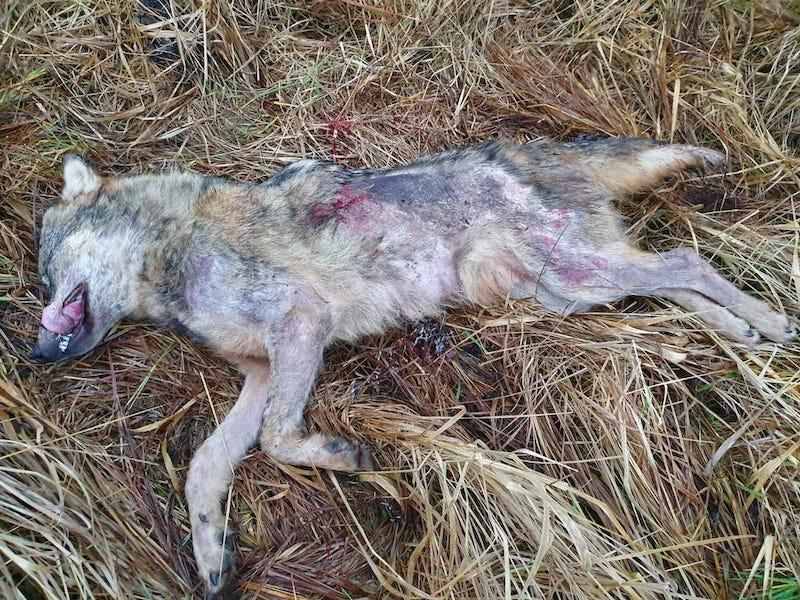 Deja, visuose Latvijos regionuose vis dažniau sumedžiojama tokių niežuotų vilkų. Tai vienareikšmiškai yra ligotos populiacijos rodiklis. Akivaizdžiai vilkų skaičių esame netinkamai įvertinę.