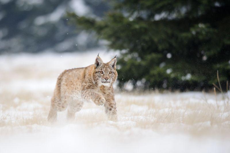 Lūšis gali labai lengvai judėti sniegu