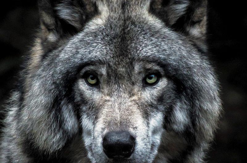 Pilkasis vilkas (Canis lupus)