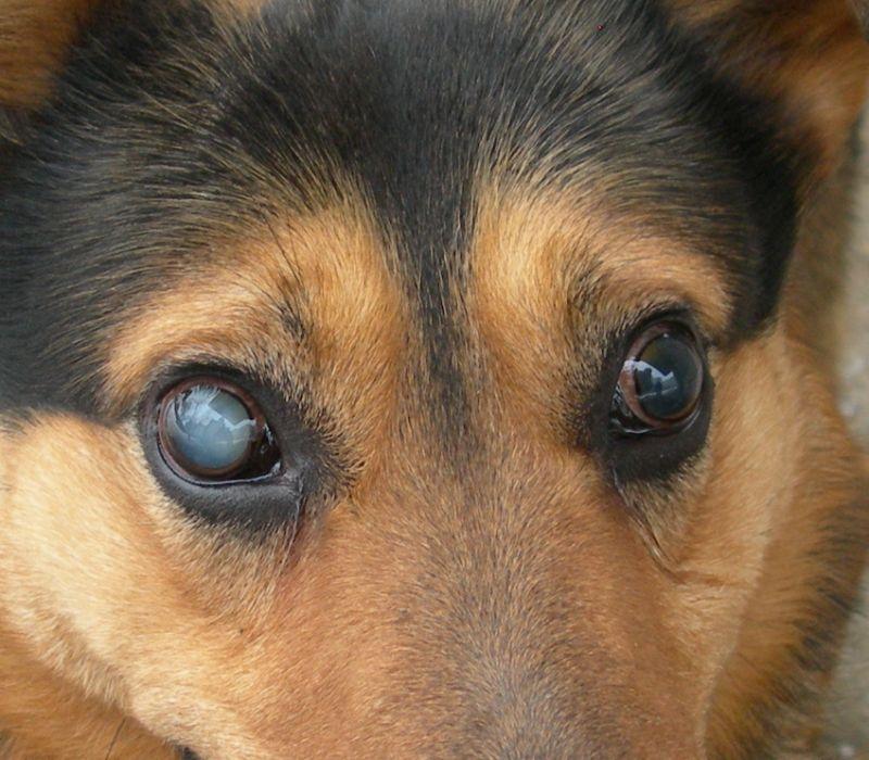Abu šuns akių lęšiukai pasislinkę į priekinę akies kamerą. Vienas anksčiau – akis jau susidrumstusi, o kitas vėliau. Kita stadija gyvūnui jau bus katarakta ir uždegimas, akis padidės ir gali kilti rimtesnių komplikacijų.